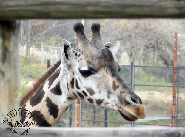 Giraffe Framed