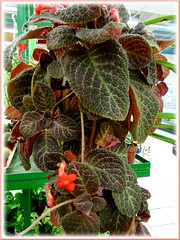 Episcia cupreata 'Kee Wee', an attractive hybrid with orange flowers