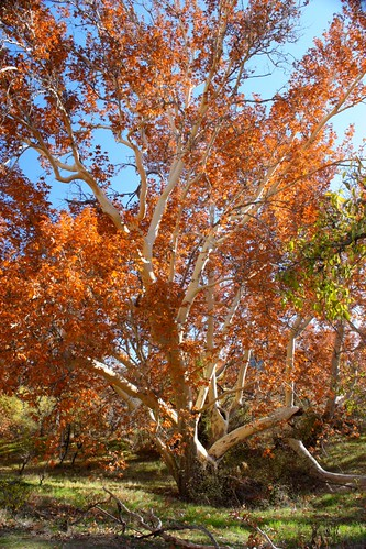 Sycamore at Montezuma Castle NM