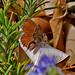 Geranium Bronze, Fuerteventura (Ken Bailey)