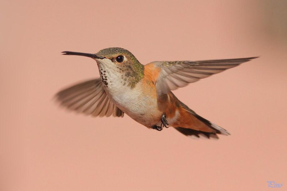 Allen's Hummingbird 031912-3