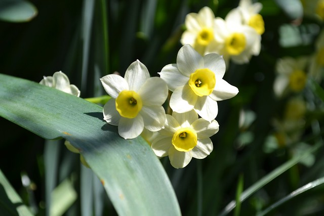 Narcissus  'Sundisc', a  jonquil (Division 7).