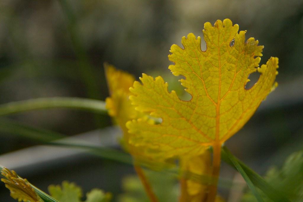 macleaya cordata leaf  1388