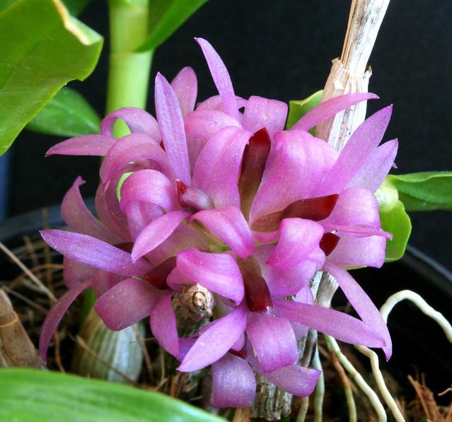 Dendrobium bracteosum var tanni