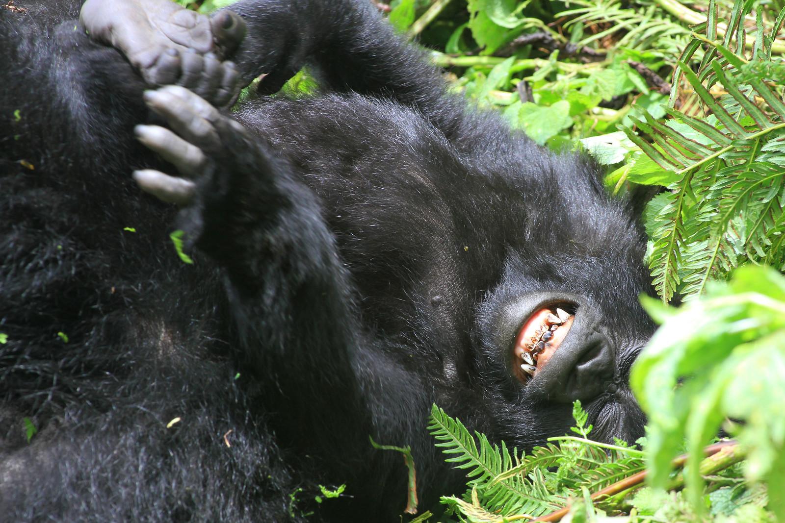 Laughing Gorilla - photo#3