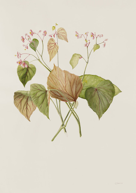 "Christina Davis, Begonia grandis, 2010. Washington Avenue behind Palm House. Watercolor on Arches 140lb. hot press. 32"" x 30""."