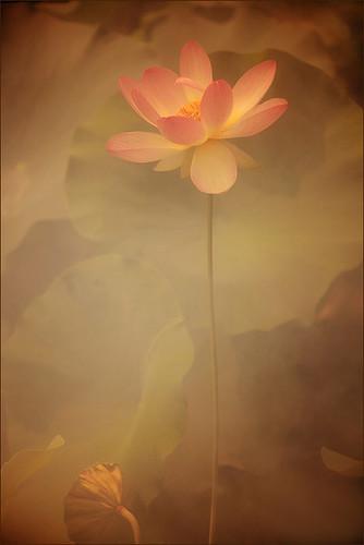 Lotus Flower - IMG_8651-2-1-800