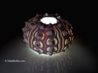 Pencil Urchin Shell on White Plexi