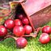 Cranberries by Blondieyooper