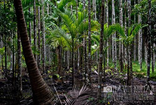 trees sunset tree beach water forest port evening moss sand coconut harvest tourist fresh nut roadside havelock paan betel andaman betelnut nicobar supari radhanagar portblair
