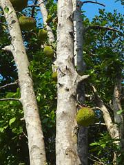 Bread Fruit Tree