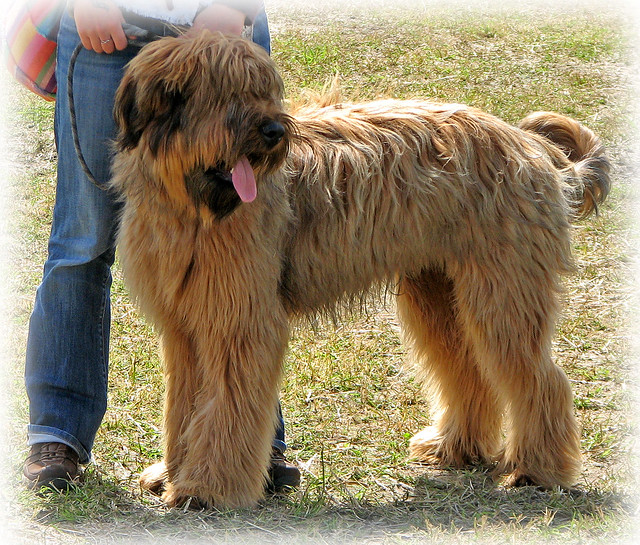 Shaggy Dog Breeds | Dog Breeds Picture