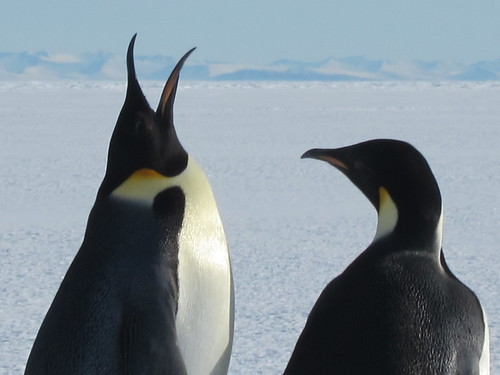 emperor penguins by sandwichgirl