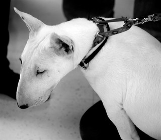 burlington pawsitive paws white bull terrier rufus granddaughter