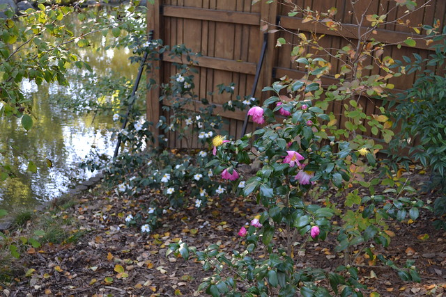 "Camellia 'Autumn Sunrise,"" a fall-blooming cultivar in the Japanese Hill-and-Pond Garden. Photo by Brian Funk."