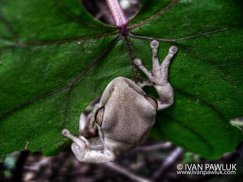 Rana albina - albino frog by IvanPawluk2