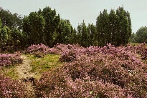 Heather and Junipers