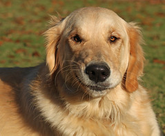 dog breed(1.0), animal(1.0), dog(1.0), hovawart(1.0), golden retriever(1.0), carnivoran(1.0),