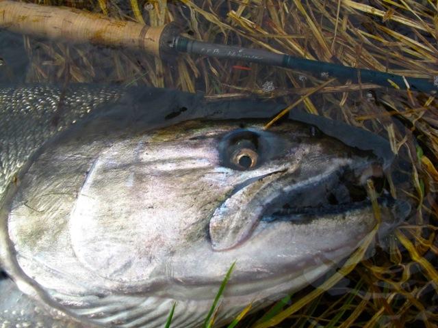 Salmon season yet the caddis fly oregon fly fishing blog for Salmon fishing season oregon