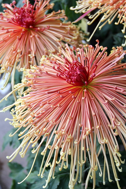 Good Morning In Japanese Yahoo : The art of japanese chrysanthemum flickr photo