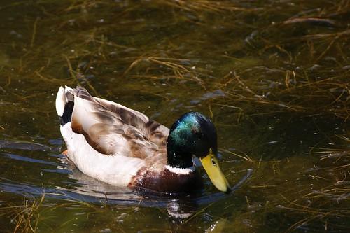 Turbo-Duck!!