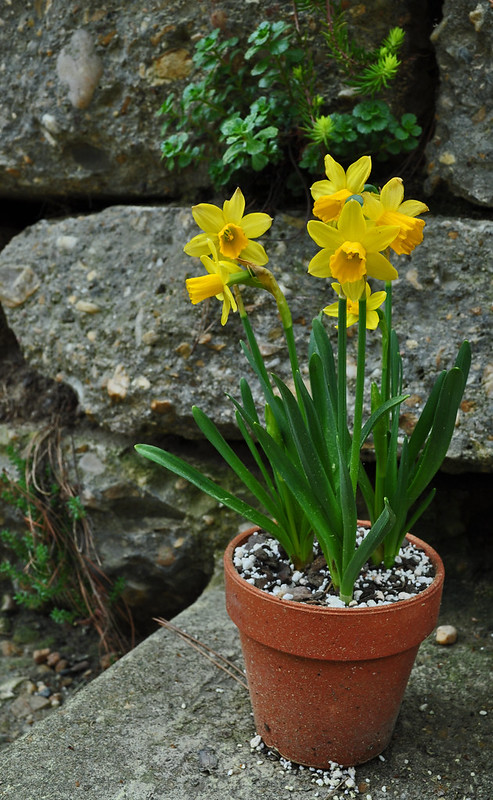 Narcissus Pot