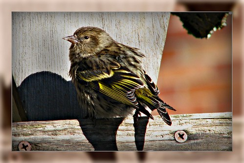 A little Pinesiskin
