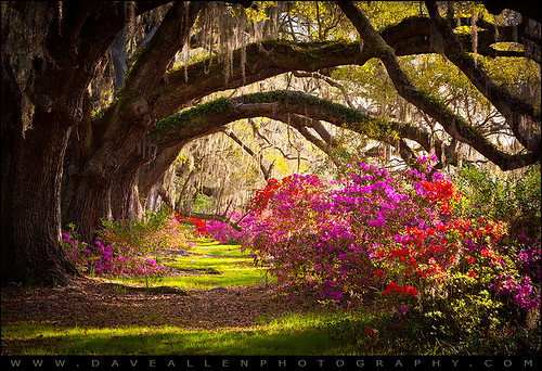 magnolia plantation azaleas south carolina magnoliagardens old oaks blooming blooms flowers charleston southcarolina charlestonsc blossoms liveoaks gardens trees nature moss spanishmoss azaleaflowers lane sc morning sunrise outdoors nikon d700 daveallen seasons scenic landscape colorful beautiful seasonal spring springflowers mygearandmediamond