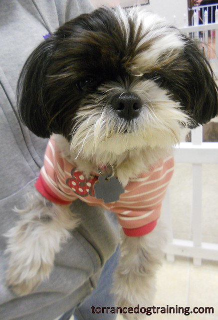 maltese shih tzu mix this is sakura she is a 2 year old maltese shih ...