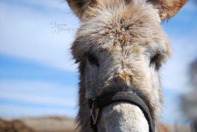 donkey-lo