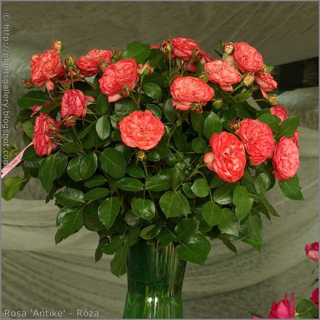 Rosa 'Antike' - Róża
