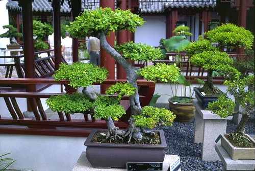 C mo hacer un bons i diario ecologia - Como cuidar un bonsai ...
