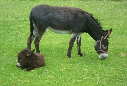baby donkey asino mautern abenteuerwelt