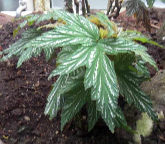 Begonia aconitifolia 6213388240_b7fb3d6cd9_o
