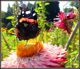 My Pal the Red Admiral.