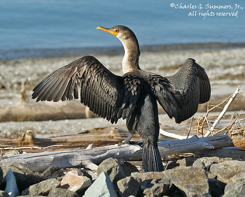 Cormorant drying wings beside Yellowstone Lake CGS11091