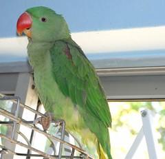 animal, lovebird, parrot, wing, pet, fauna, parakeet, common pet parakeet, beak, bird,