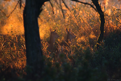 light mist fall animal animals canon deer 7d lowkey oostvaardersplassen herten ovp eos7d