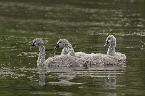 Black Swan cygnets.