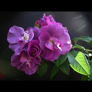 """rosa """"rhapsody in blue"""""""