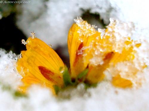 Snow Clings to Wildflower II