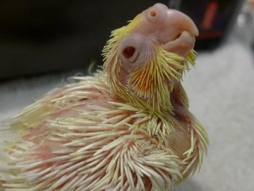 玄鳳鸚鵡寶寶-粉圓