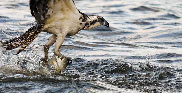 Águila pescadora cazando en el Lago Guana. Florida.