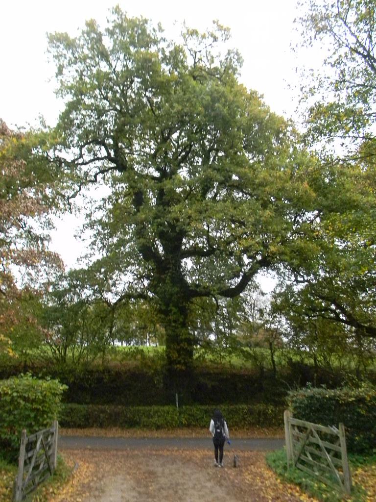 Another big tree near Batemans Stonegate to Robertsbridge