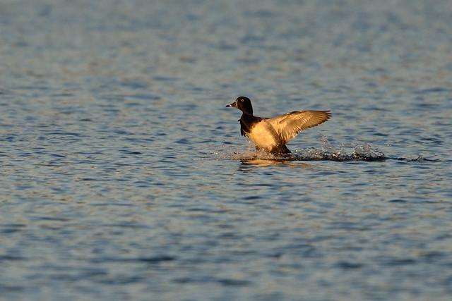 Duck Landing DSC_8245