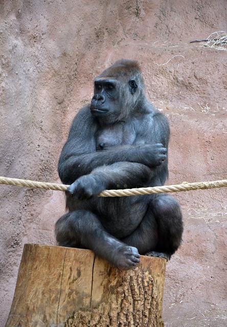Bikira gave a birth to a gorilla baby, but she didn't accept him...