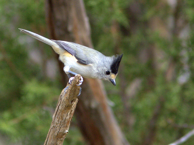 Black-crested Titmouse 20111112