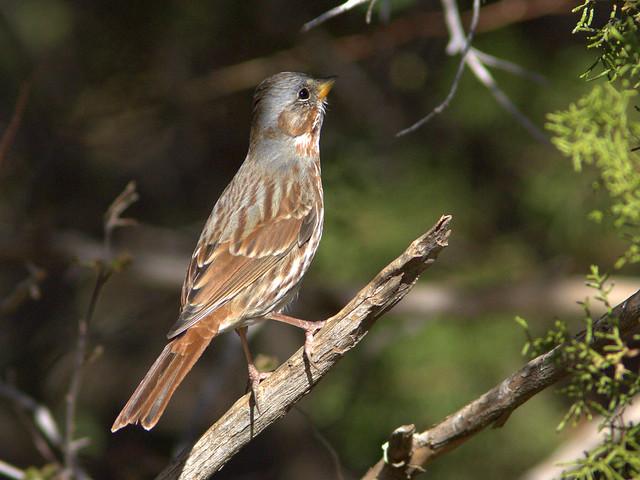 Fox Sparrow 2-20111112