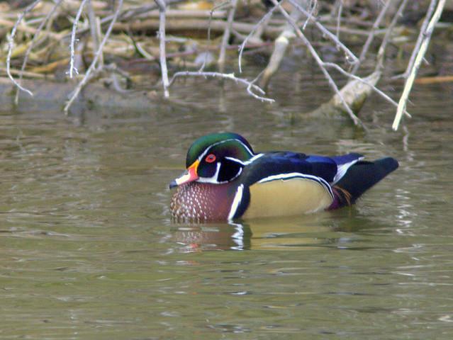 Wood Duck 2-20111113