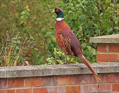 Neighbourhood Pheasant